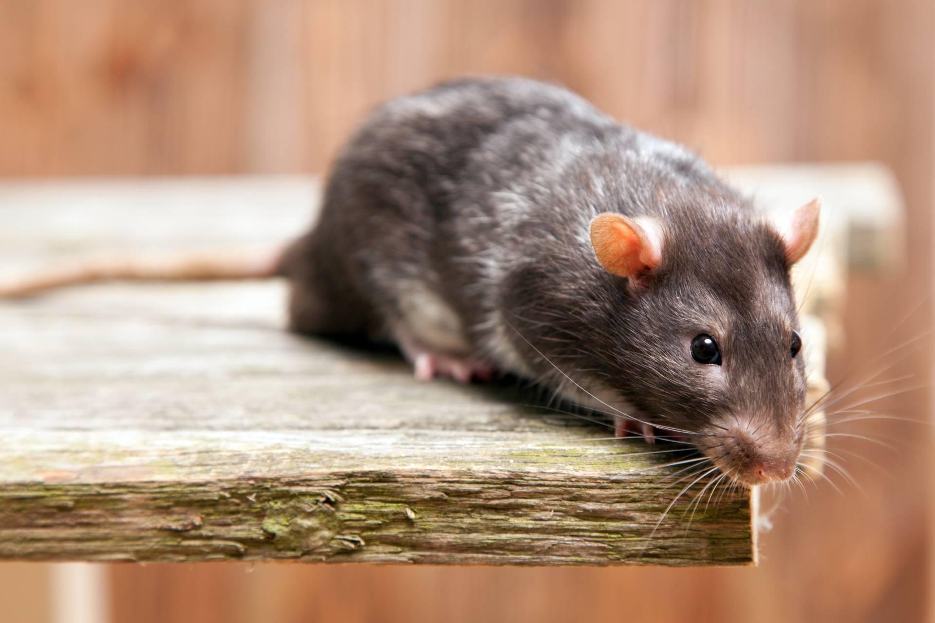 Dedetizadora de Ratos - Niterói e Rio de Janeiro
