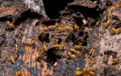 Cupim subterrâneo: saiba como a Descupinização RJ pode ajudar a acabar com esse inseto