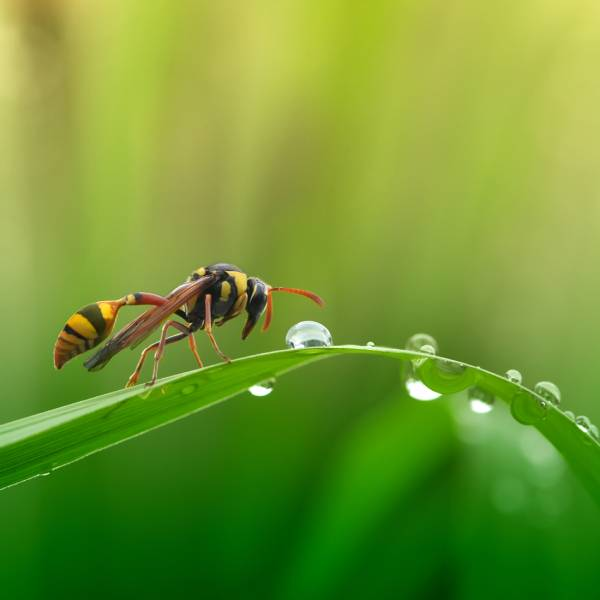 Controle de pragas - vespas