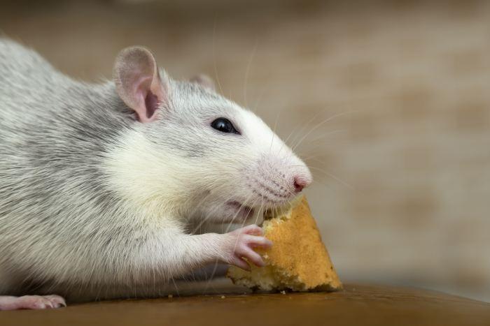 Desratização na Ilha do Governador: a melhor forma de evitar problemas com ratos em seu estabelecimento!