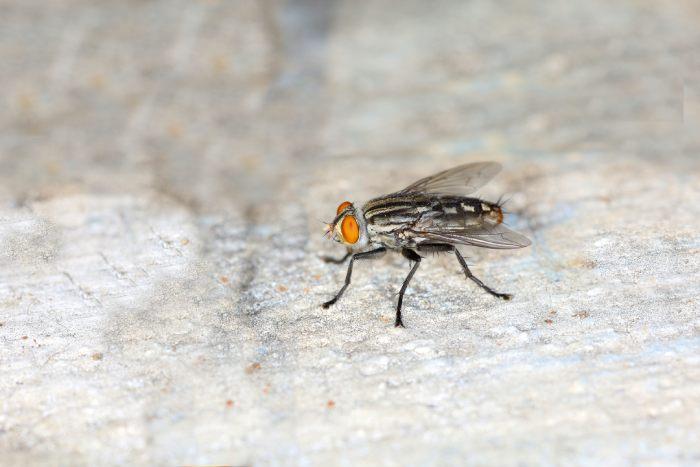 As moscas não te deixam em paz? Talvez seja hora de contratar o serviço de dedetização
