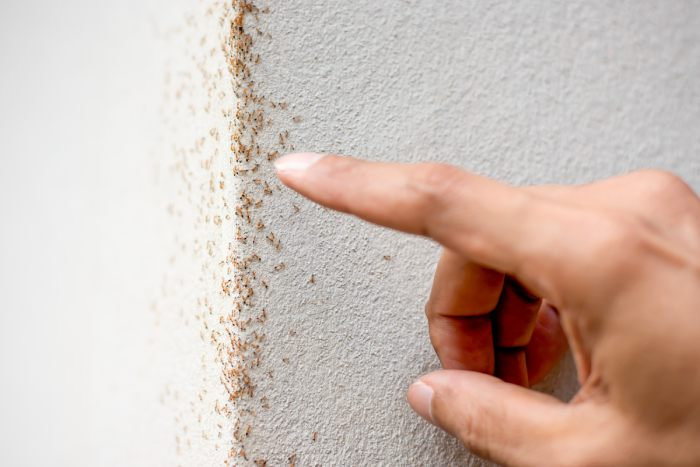 Entenda como as formigas podem se tornar um grande problema para a sua casa
